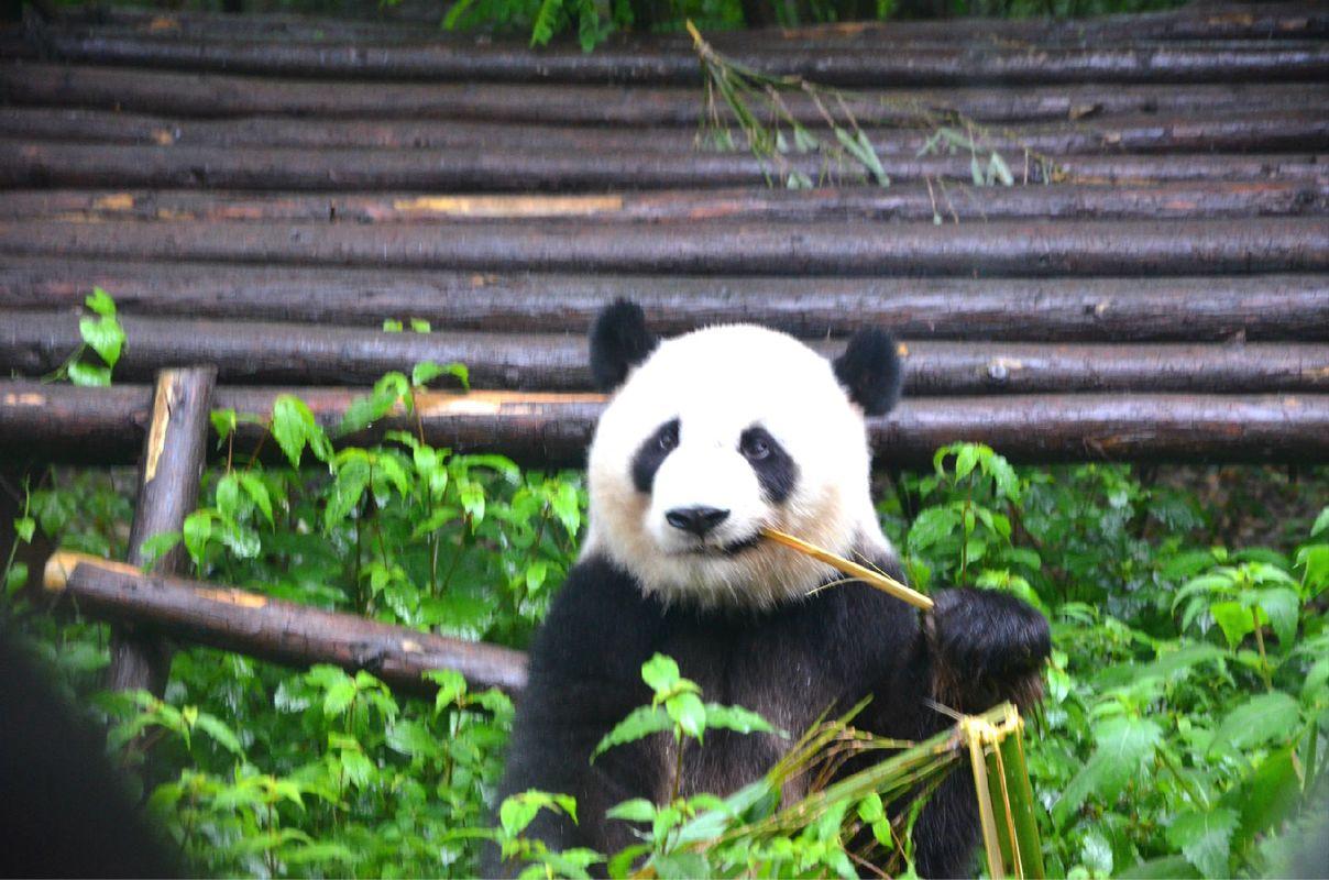 入川~邂逅萌宠大熊猫