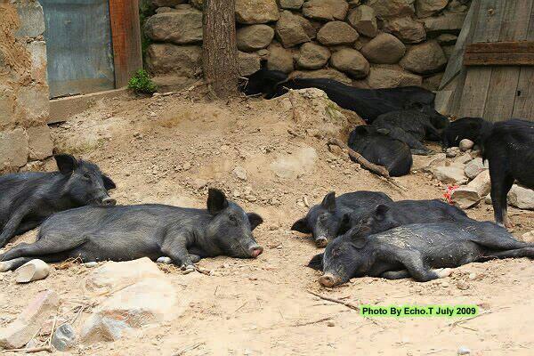 小黑猪睡觉可爱图片