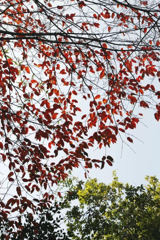 秋风吹红了树叶图片