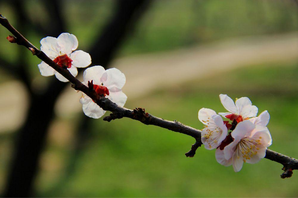 南京梅山赏梅花_旅行画册旅行图片_百度旅游