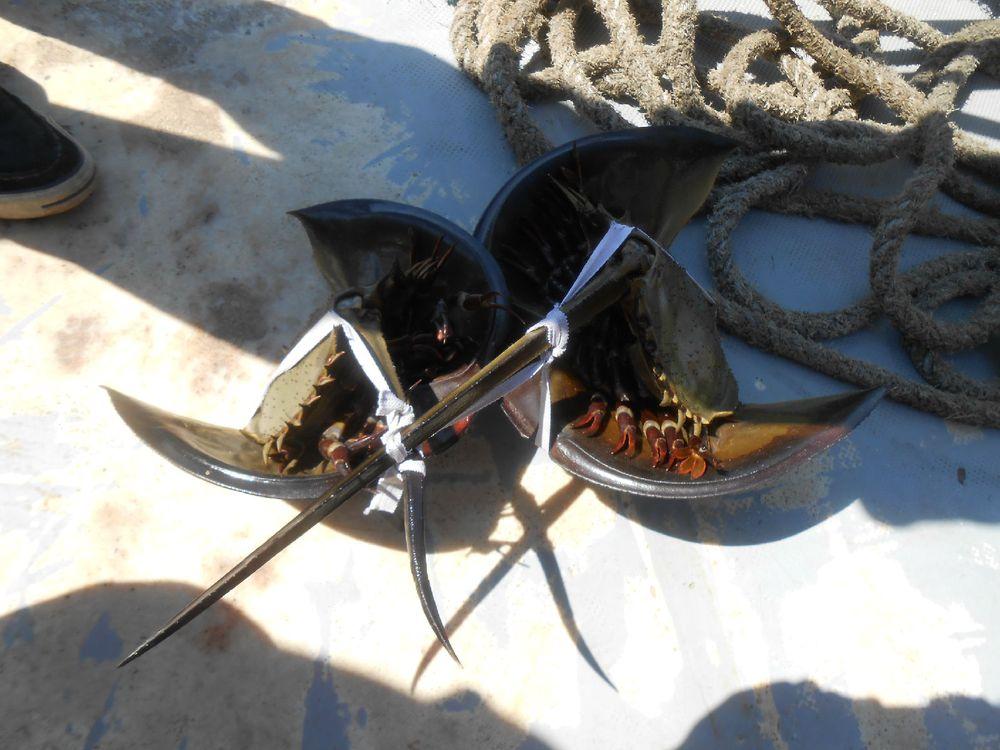 好贵的海鲜,国家二级保护动物【鲎】图片