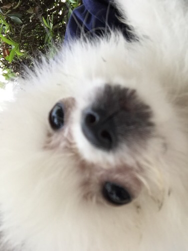 狗狗眼睛周围掉毛发红图片1