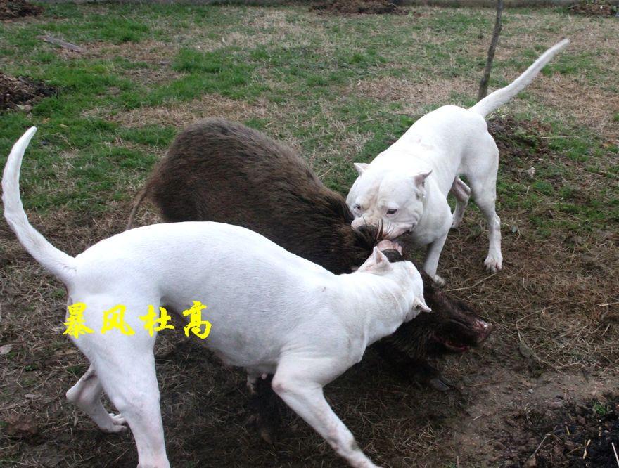 阿根廷杜高犬是世界最凶悍犬种之一,最初是用于捕猎野猪,美洲狮和