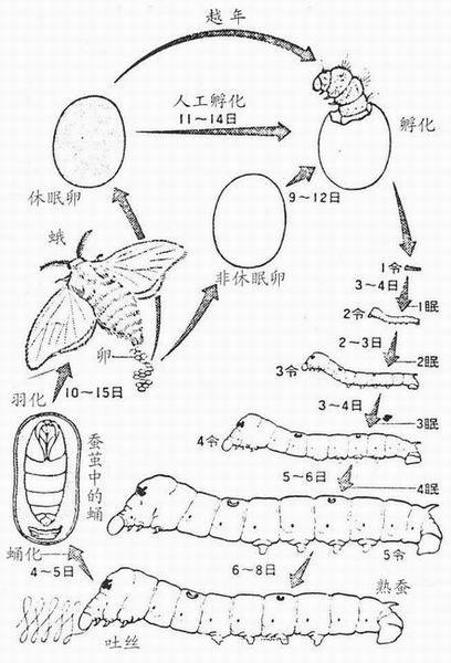 一张蝴蝶蛹的简笔画,是蛹! 要简单但要突出特点!