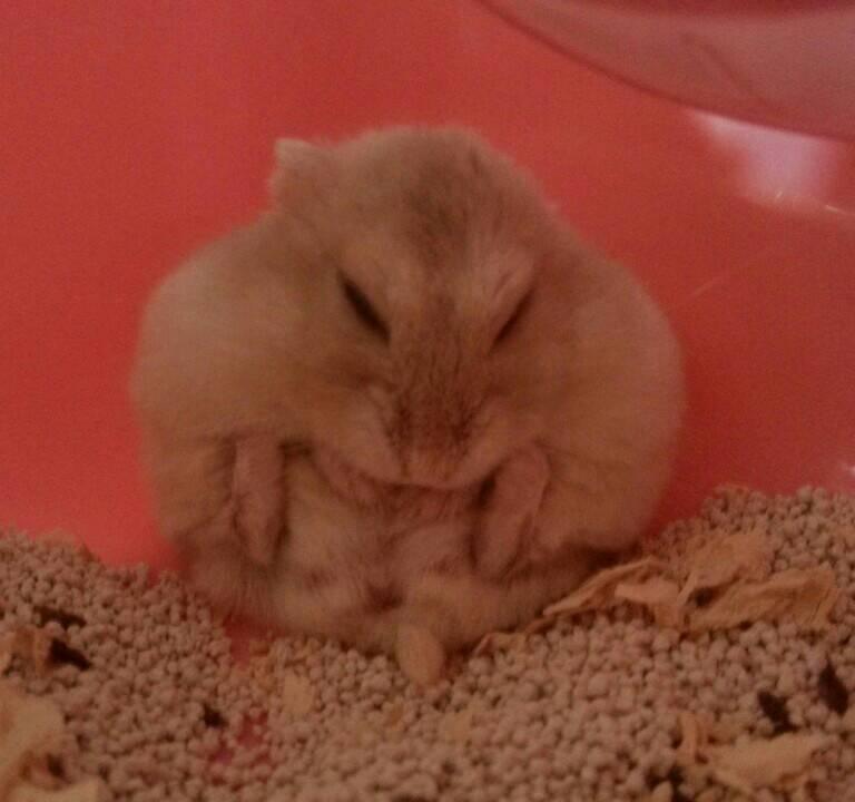 仓鼠突然很爱咬人是一只传奇mm我都养了四个月了以前弄她都不轩辕奶茶大熊猫皮肤图片