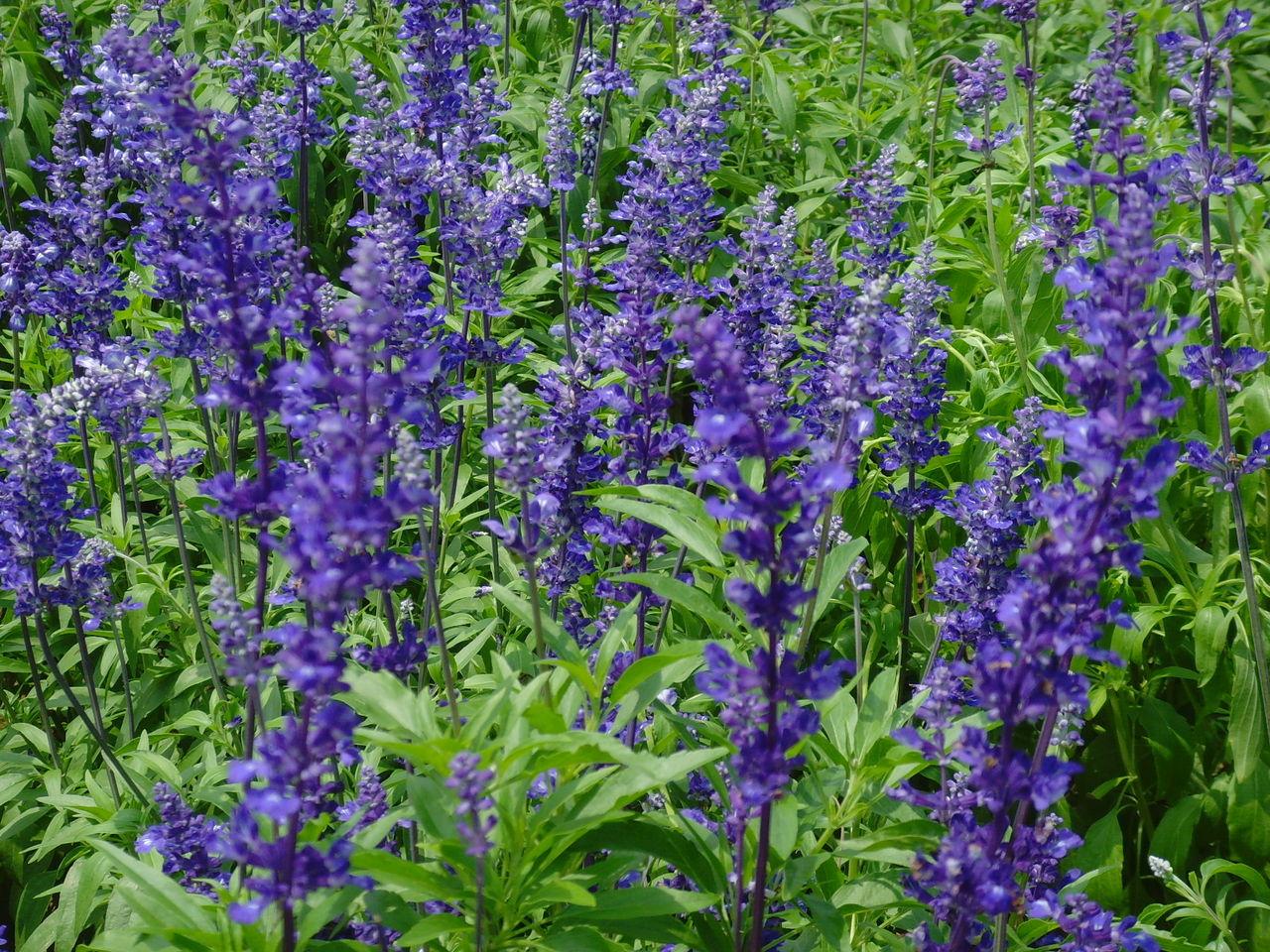 薰衣草的近景图片 就是能分清楚叶片花朵的近照图片