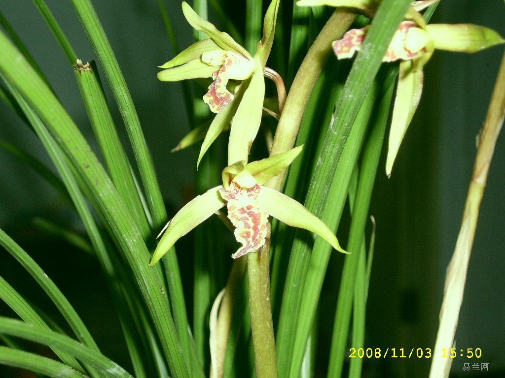 请问这是什么品种的兰花?_百度知道图片