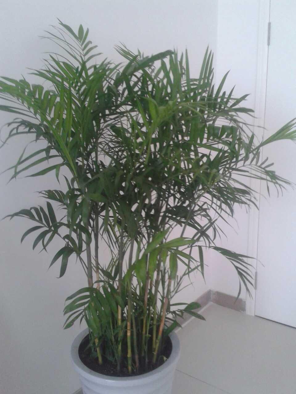 叶子象绿萝的,杆子象竹子的是什么植物.