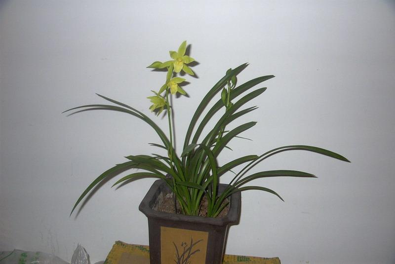 请问有人知道这种兰花的名字吗?图片