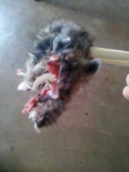 老虎笼子俩呆在一个仓鼠里打架父子百米记录图片