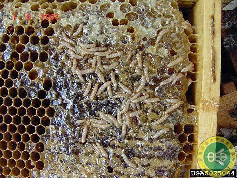 请问蜂桶里长绵虫怎样消灭,我家的是土蜂.