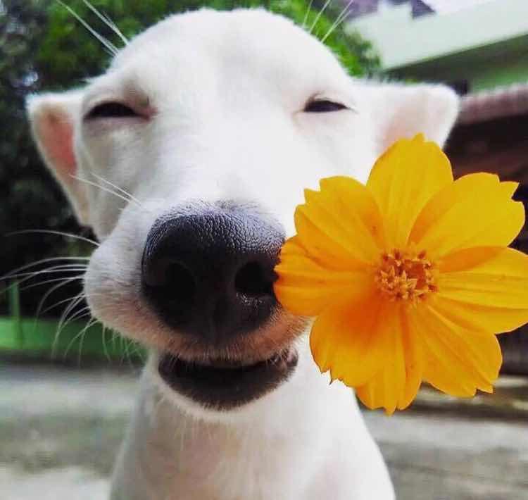 如图,求一只白色狗带一朵小黄花的头像.图片