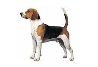 这是哈利犬