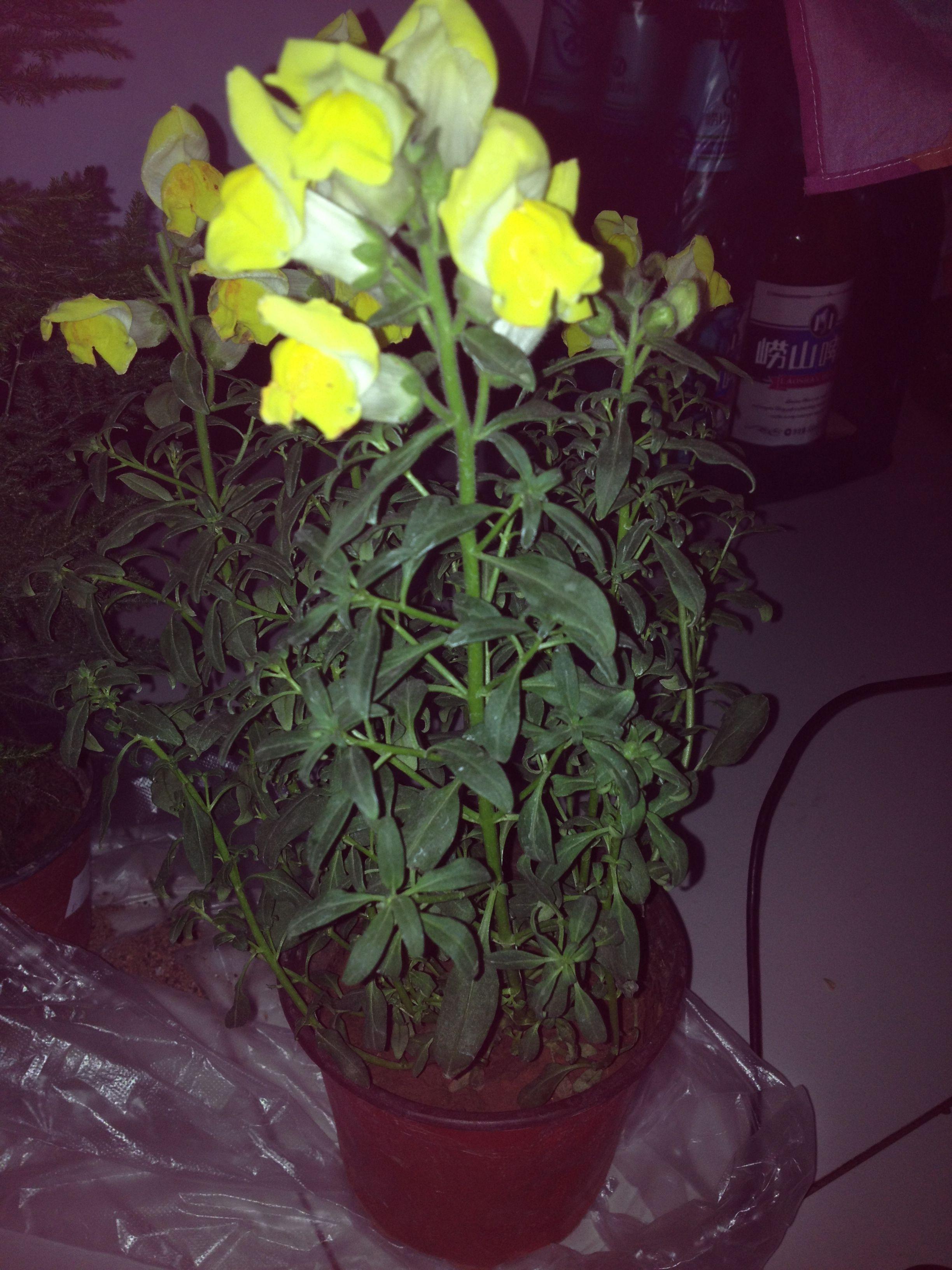 花铃铛_花像铃铛的是什么植物
