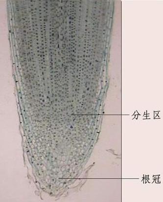 求植物根尖结构高清图片,要能看到细胞核分裂现象那种