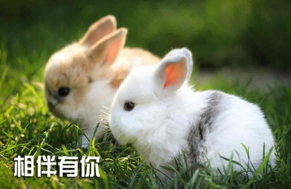 兔子动物壁纸1150_750法国鳄鱼体恤中国人穿长不图片