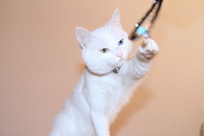 白色小猫图片脸皮好看的