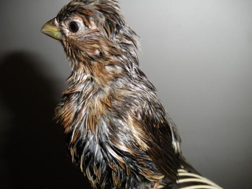 请问各位怎么分辨青麻料鸟的公母?