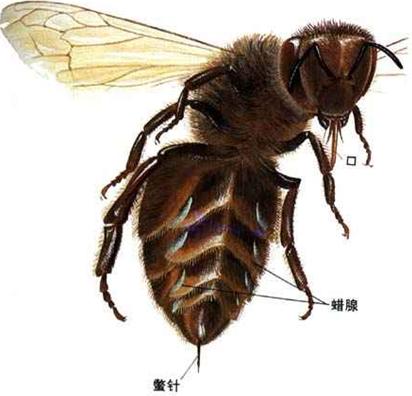 不要在苍蝇附近养村庄.诱饵蜜蜂的配制图片