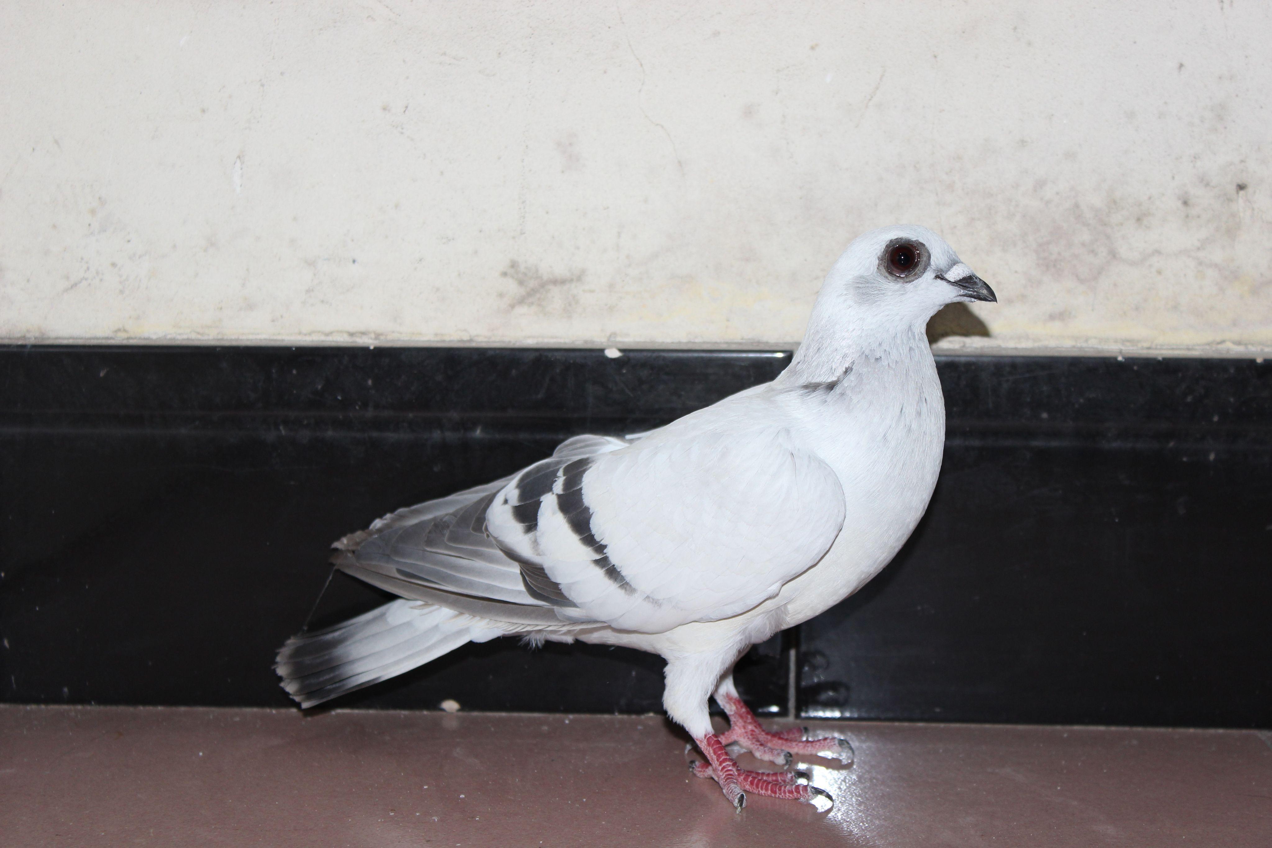 动物鸽鸽子鸟蜗牛4095_2730狂奔的起点鸟类图片