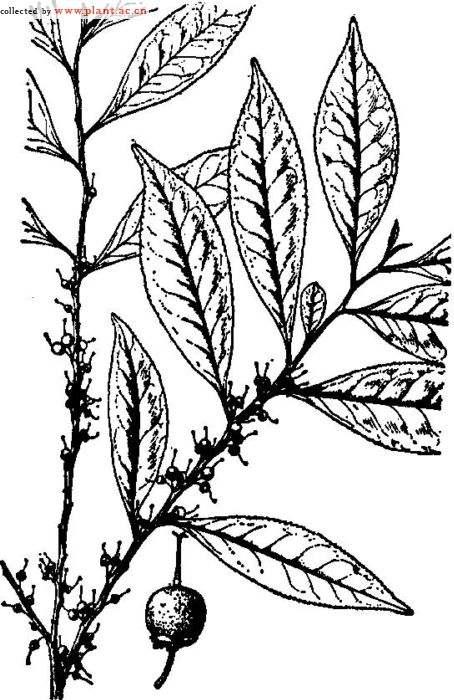 茶苗手绘图