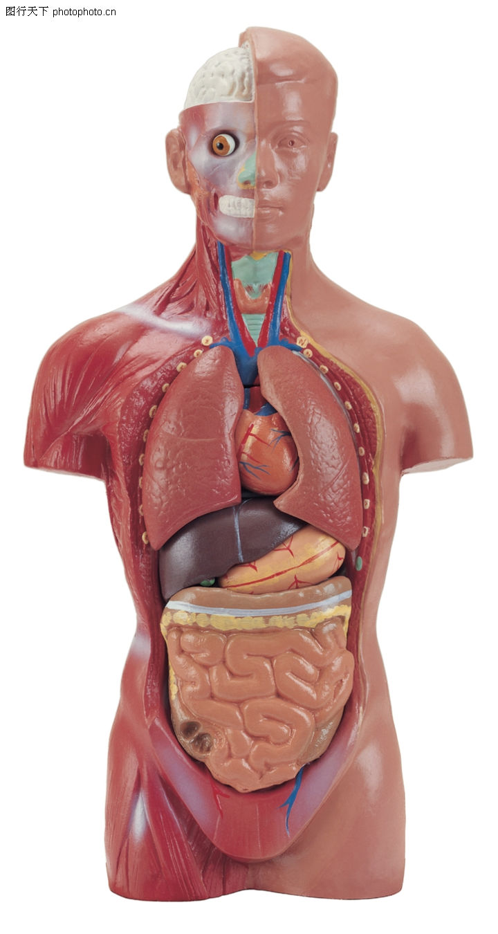 人体器官结构图画画_求一张人体器官平面图