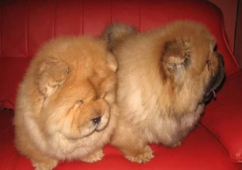 这是什么品种的狗啊?好可爱!