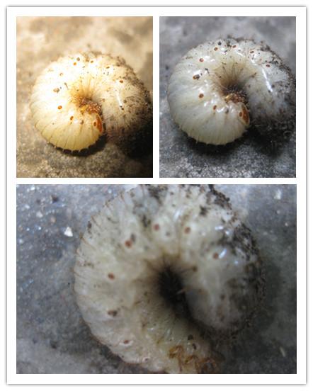我家的楼顶的花坛里挖出成百只奇怪的白色大肥虫,能帮图片