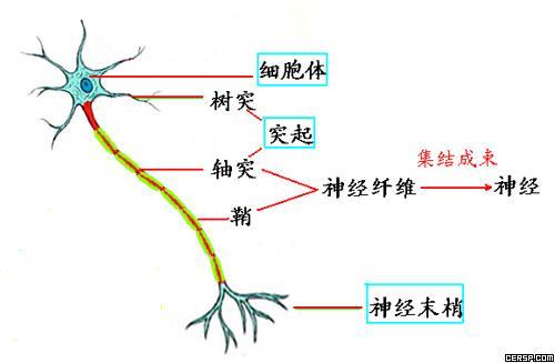 神经纤维,神经,神经元,神经末梢的关系与结构