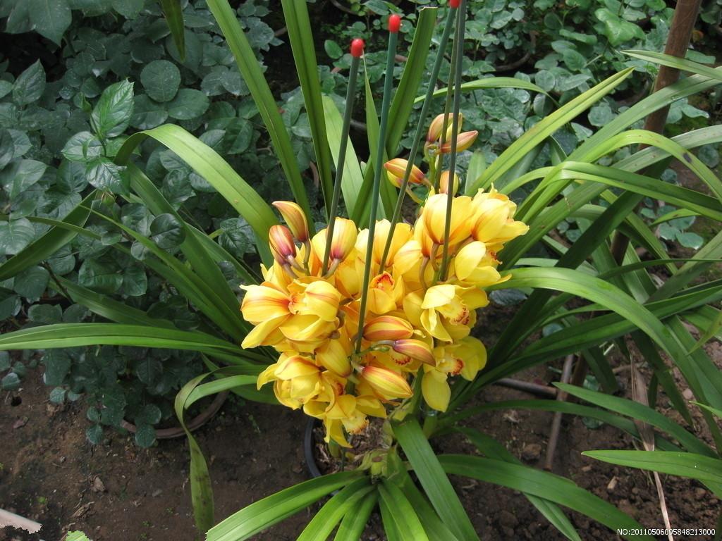 请问这是什么品种的兰花?图片