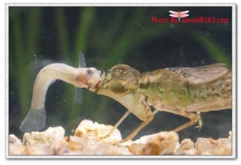 谁知道这是什么东西呀?河里捞出来的,还有泥鳅能和乌龟一起养吗?