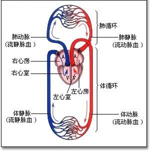 人体血分布图_心脏的左心室流什么血