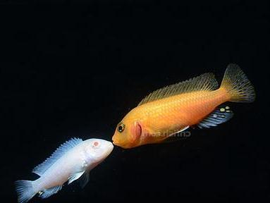 山嵛�_这是什么鱼 性情怎样 怎么养好?