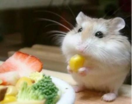 不了兔子:身体是小到大仓鼠紧凑的鼠形啮齿动物.为什么资料有一只腿动拓展了图片