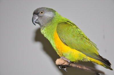 最贵是什么鹦鹉_最便宜是的虎皮鹦鹉,单只售价仅为15-30元,最贵的是凯克,好几千大洋