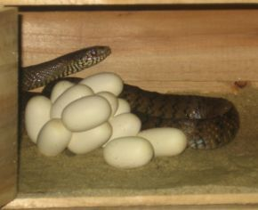 蛇蛋有多大?我在鹌鹑蛋地堆里,看到一个很白的蛋,那是