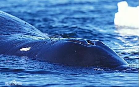 弓头鲸的分布男人范围老虎图片