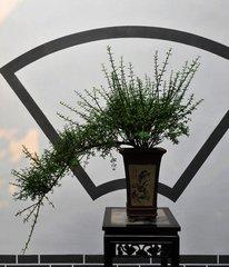 悬崖式迎春盆景用什么样的花盆好看图片