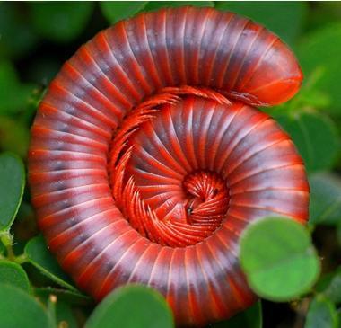 长的像毛毛虫,但比它大,虫子红红的是桃花,大约长核满身皮是什么图片