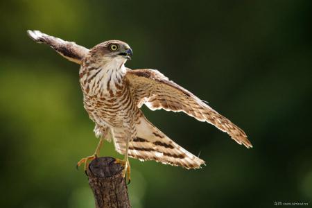日本松雀鹰:亚成鸟