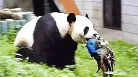 从吃肉到吃竹子,熊猫的进化很失败吗?的头图