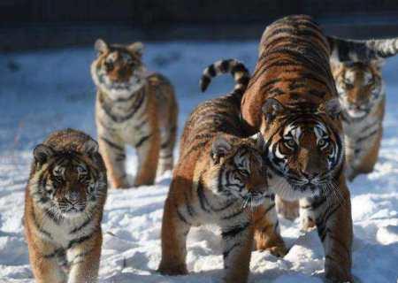 乱捕乱杀野生动物,严重地破坏生态平衡,也是造成东北虎濒临灭绝的另一