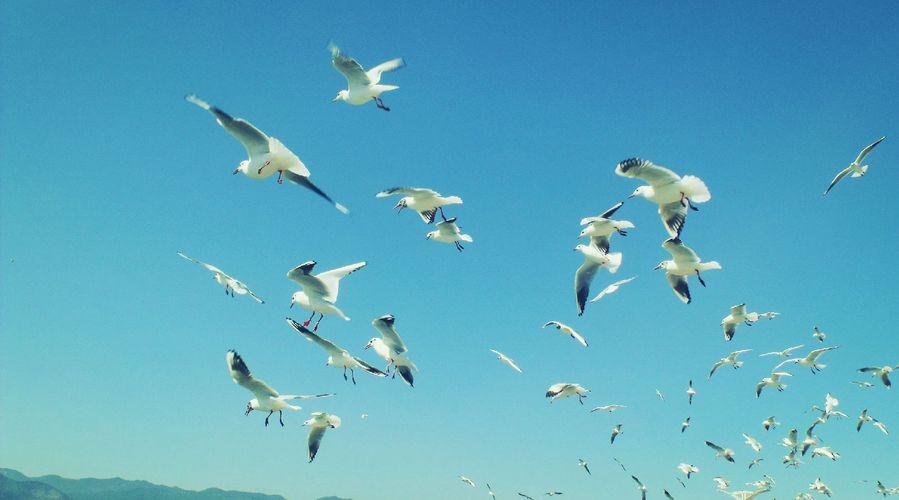 蔚蓝的天空,红嘴鸥在飞翔,人与自然和谐相处.图片