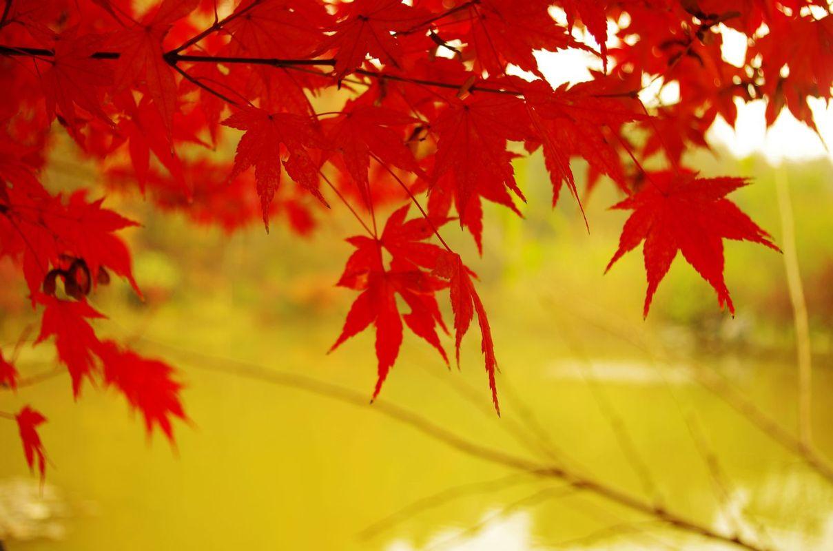 背景 壁纸 枫叶 红枫 绿色 绿叶 树 树叶 植物 桌面 1209_800