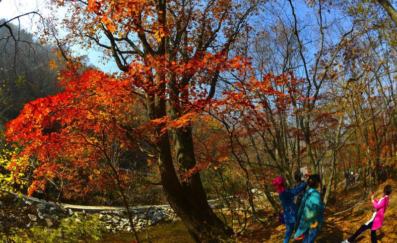 本溪老边沟风景区春天山花竞放,汇聚成一个山花烂漫的海洋,秋天枫林如