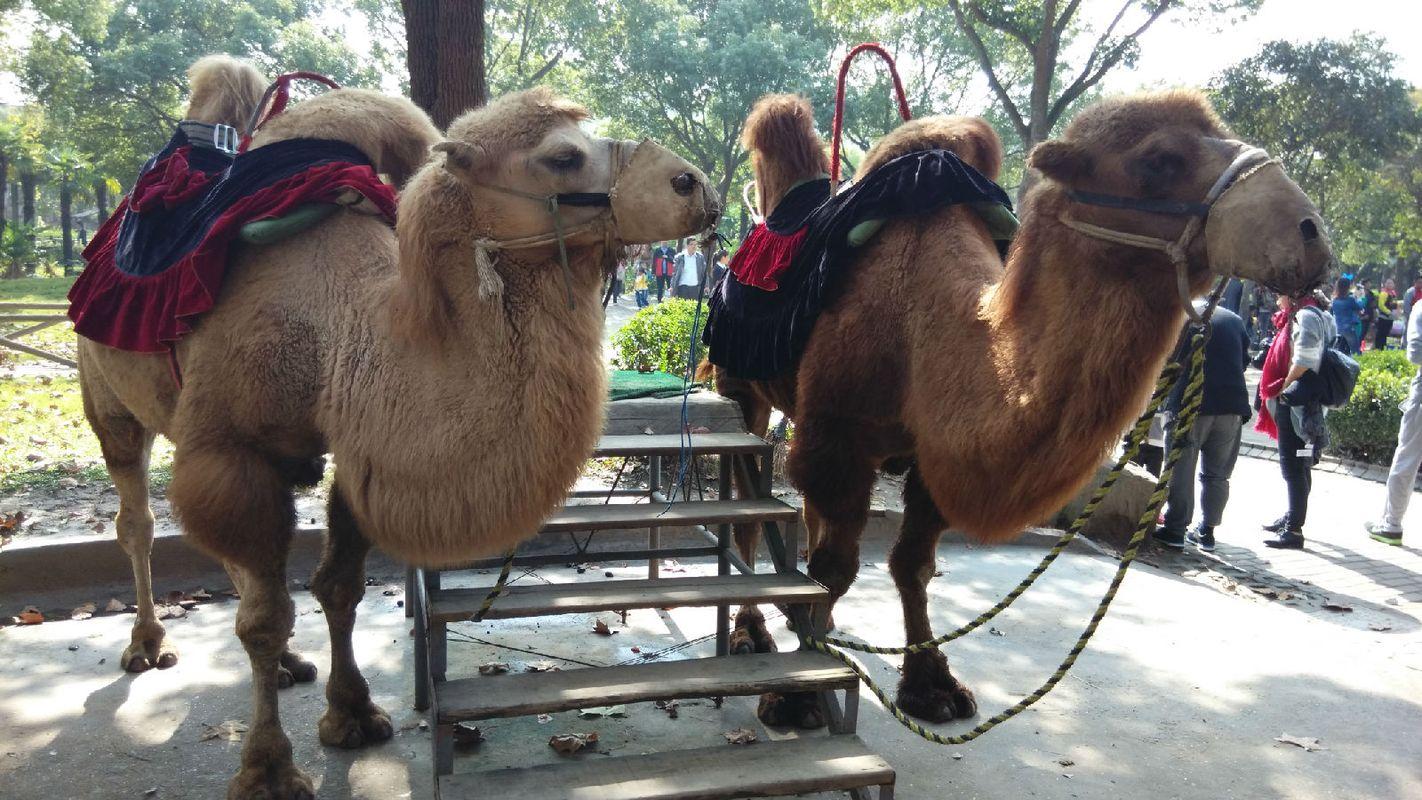 上海野生动物园-骆驼图片