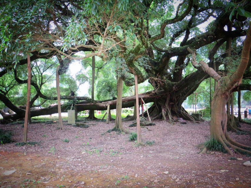 大榕树近景图片