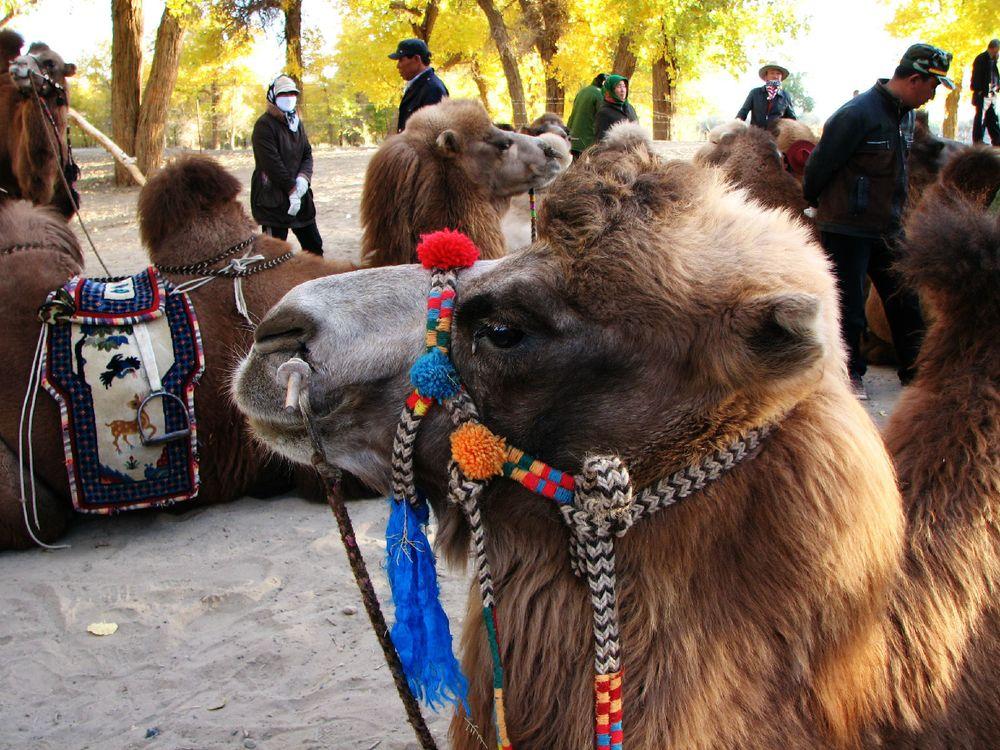 可爱的小骆驼.图片