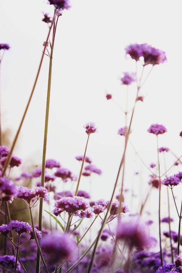 种满马鞭草的薰衣草庄园——中卫金沙岛