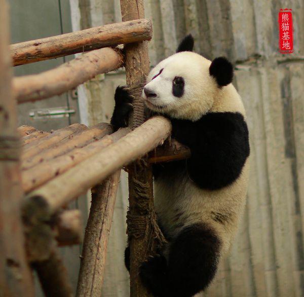 曾经以为熊猫不会爬树图片